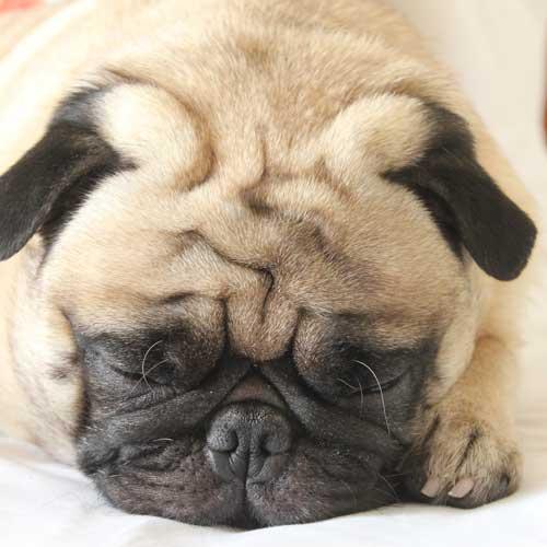 Momo - The Pug